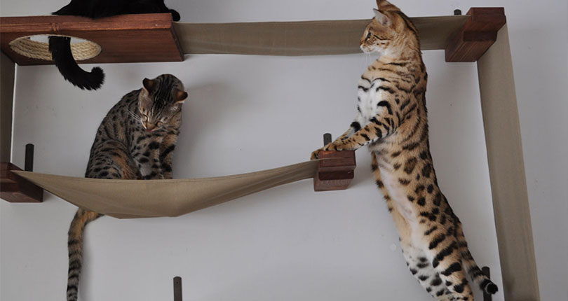 cats playing on wall mounted cat furniture