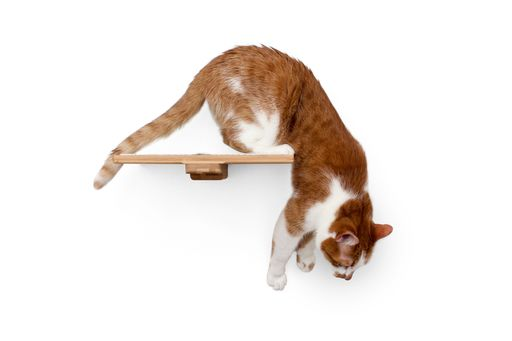 12 inch shelf with orange and white cat