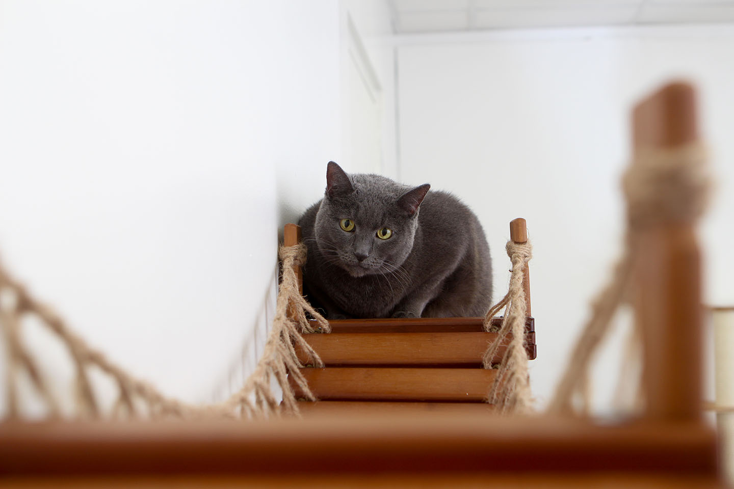 This photo displays a cat sitting on one of the shelves of the Bridge with Landings. This Bridge is in English Chestnut, a dark brown stain.