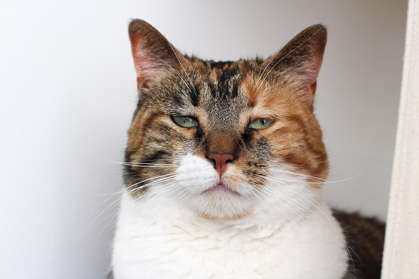 sleepy green eyed calico cat
