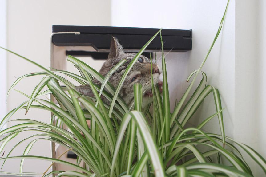 cat munching on cat grass