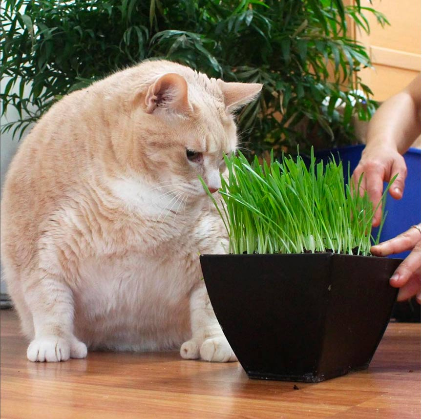 Cat looking at cat grass