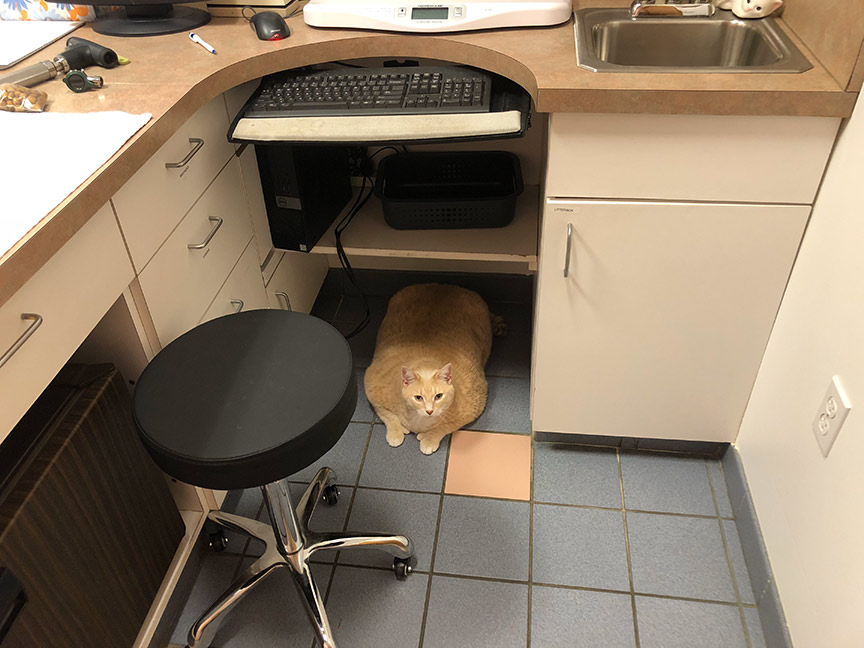 Cat laying on the floor at the vet