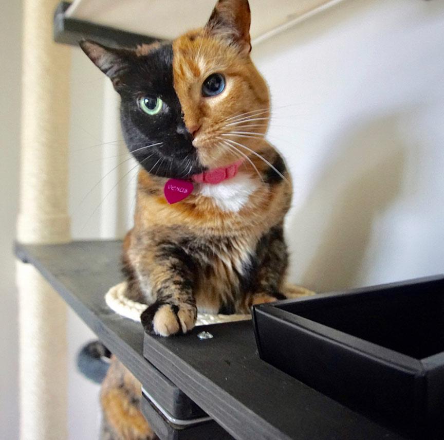 harlequin kitten on wall mounted cat furniture