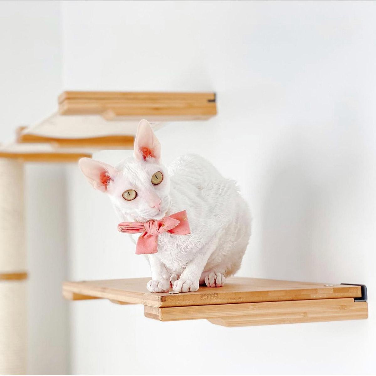 cute sphynx on cat shelf